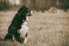 (Bilderscan) Tags: shepherd australian dog hund haustier amy tier