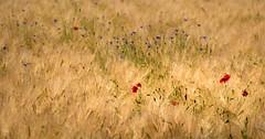 Fairy field (Jean-Luc Peluchon) Tags: fz1000 printemps spring color couleur rural champ field flower fleur coquelicot poppy
