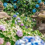 Naomasa's Hydrangeas thumbnail