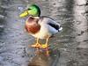 Cold-feet (johnb/Derbys/UK) Tags: coldfeet bird derbyshireuk duck mallard wet wildlife water winter weather pose ice pov elvastoncastlepark