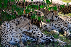 DDR_3761 (Santiago Sanz Romero) Tags: kenya wildlife animales ngc