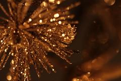 Macro Monday...Lit by Candlelight (Sue Armsby) Tags: macromondays litbycandlelight christmas decorations glitter gold shiny light candle sparkle