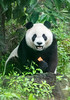 Panda, Taipei Zoo (Nature's Image Photography) Tags: panda taipeizoo taiwan