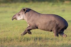 Tapir, South American Tapir. Brazilian tapir, Tapirus terrestris (Sergio Bitran M) Tags: braziliantapir tapirusterrestris southamericantapir tapir mamífero brasil pantanal matogrosso tapirus mammalia