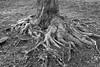 Root System _ bw (Joe Josephs: 3,166,284 views - thank you) Tags: centralpark nyc nycneighborhood nyctourism travel travelphotography centralparklandscape december joejosephs outdoor seasons urbanexploration urbanpark â©joejosephs2017 tree roots monochrome blackandwhite blackandwhitephotography ©joejosephs2017