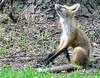 DSC_0748 (RachidH) Tags: fox renard vulpes foxcub renardeau redfox renardroux vulpesvulpes backyard frontyard wildlife sparta newjersey nj rachidh nature