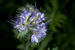 A Lady for the Bumblebees - _TNY_1667 (Calle Söderberg) Tags: macro canon canon5dmkii canonef100mmf28usmmacro canoneos5dmarkii flash meike mk300 glassdiffusor blue flower honungsfacelia ladyphacelia phacelia tanactifolia blackbackground f13