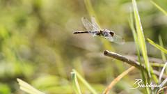Libellule 131 (beardman626) Tags: vol flight libellule dragonfly dragon fly odonate odonata sony a77 sigma 105mm macro anisoptere anisoptera aile ailes stationnaire helicoptere avion chasseur chasse prédateur prédator