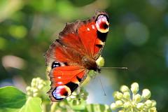 Aglais io ''Paon du Jour'' - Havré (Belgique). (grandmont.jeanpol) Tags: papillon belgique lepidoptera paondujour aglaisio havrébelgique havréhainaut belgiqueenimages