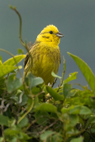 Yellowhammer - New Zealand_FJ0A8065