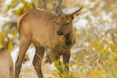 Just a young'un (ChicagoBob46) Tags: elkcalf calf yellowstone yellowstonenationalpark nature wildlife coth5 ngc