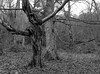 Two trees (Hyons Wood) (Jonathan Carr) Tags: tree branches hyonswood rural northeast northumberland landscape abstract black white monochrome mediumformat analogue bw 6x45