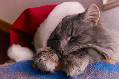 The party is over (FocusPocus Photography) Tags: fynn fynnegan katze kater cat chat gato tier animal haustier pet mütze hat weihnachten christmas