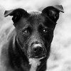 Tina_Fey29Dec201744-Edit.jpg (fredstrobel) Tags: dogs pawsatanta phototype atlanta blackandwhite usa animals ga pets places pawsdogs decatur georgia unitedstates us