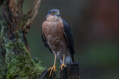 R17_3154 (ronald groenendijk) Tags: cronaldgroenendijk 2017 eurasiansparrowhawk rgflickrrg accipiternisus animal bird birds birdsofprey groenendijk hawk holland nature natuur natuurfotografie netherlands outdoor ronaldgroenendijk roofvogel roofvogels sparrowhawk sperwer vogel vogels wildlife