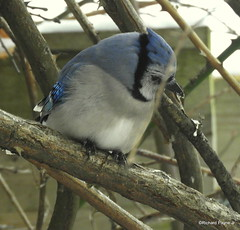 Blue Jay_N1862 (Henryr10) Tags: cyanocittacristata cyanocitta cristata bluejay jay bird avian vogel ibon oiseau pasare fågel uccello tékklistar blja