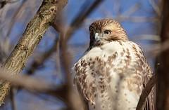 Red-tailed Hawk (JDA-Wildlife) Tags: birds birdsofprey raptors hawks hawkredtailed redtailedhawk nikon nikond7100 tamronsp150600mmf563divc jdawildlife johnny portrait closeup eyecontact whatbirdbestofday wow gorgeous