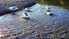 280. PUDDLE PLAY: Frenetic Flapper (Meili-PP Hua 2) Tags: bathing gulls seagulls puddles beach sea seaside ocean sand dunes marine coastal seashore water river birds waterbirds gullsbathing flapping flap wings photographypassionsxyz