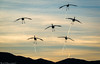 The GREY ANGELS!! (Bill Bowman) Tags: sandhillcranes gruscanadensis bosquedelapache bosquedelapachenationalwildliferefuge newmexico sunset whimsy