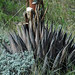 Agave parryi (century plant) 3
