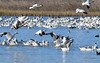 Snow Geese fly in at SNWR (champbass2) Tags: sacramentonationalwildliferefuge nature wildlife refuge migration wintermigration inflight landing snowgeese pacificflyway flyin