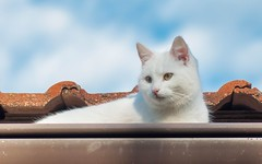 Katty (04) (Vlado Ferenčić) Tags: katty kitty catsdogs vladoferencic cats kittens vladimirferencic zagorje croatia nikond90 tamron9028 animalplanet animals