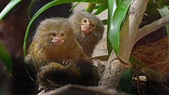 Zwergseidenäffchen (karinrogmann) Tags: zwergseidenäffchen pygmymarmoset uistitpigmeo zooschönbrunn wien