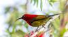 Crimson sunbird (Mohsan Raza Ali Baloch) Tags: islamabad pakistan mohsan mohsans raza ali