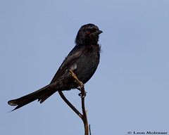 Fork-tailed Drongo (leendert3) Tags: leonmolenaar wildlife nature southafrica krugernationalpark birds forktaileddrongo ngc npc