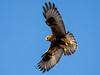 Hawk, Rough-legged (@Michael) Tags: buteo buteolagopus carlosaverywildlifemanagementarea em1ii gear hawk minnesota olympus olympus300mmf4 places roughleggedhawk wildlife