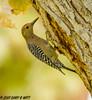 Gila Woodpecker (orencobirder) Tags: birds largebirds flickrexport woodpeckers
