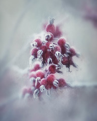 Winter's Grip (MontanaRoots (aka Craig)) Tags: frost red painterly berries winter frigid cold