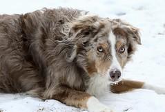 Snow Time (Diane Marshman) Tags: madie australianshepherd aussie redmerle medium size dog pet companion brown tan white fur winter snow cold northeast pa pennsylvania nature