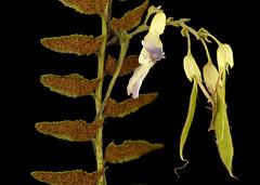 Amphicarpa bracteata, hog-peanut flower wrapped around Polystichum acrostichoides, Christmas fern, Howard County, MD_2017-09-13-15.46 (Sam Droege) Tags: zerenestacker stackshot geologicalsurvey unitedstatesgeologicalsurvey departmentoftheinterior droege biml beeinventoryandmonitoringlaboratory bug bugs canon closeup macro insect patuxentwildliferesearchcenter pwrc usgs dofstacking stacking entomologist canonmpe65 taxonomy:binomial=amphicarpabracteata christmasfern spores helenlowemetzman