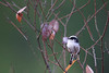 Long-tailed tit-2.jpg (Hisao KOMORI) Tags: japan nara photoframe