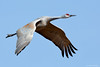 Sandhill crane (dpsager) Tags: bird birds bosquedelapache bosquedelapachenationalwildliferefuge crane dpsagerphotograph newmexico sandhillcrane socorrocounty