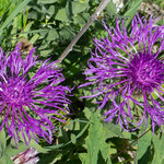 Flockenblume - centaurea - Asteraceae- 20170706 - P1110477 thumbnail