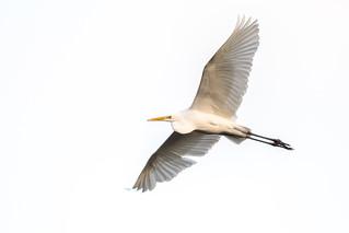 Great Egret  -  Silberreiher