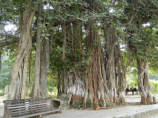 Old Banyan Tree, Matvad, Gujarat, India.