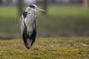 Fischreiher (Ardea cinerea) (Silu Junior) Tags: heron bird vogel reiher animal tier nature natur wildlife nikon sigma