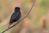 Velvety Black-Tyrant (Cristofer Martins) Tags: velvetyblacktyrant mariapretadegargantavermelha knipolegusnigerrimus nature wildlife birds bird birdwatching brazilianbirds coth5