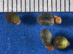 2017-12-09-14.44.51 ZS PMax Dendromecon harfordii-1 (John Rusk) Tags: olympuspenepl1body canonfd50mmmacrolens canonfllifesizeadaptor25mm iso100 fstopf35 shutterspeed125s zerenestacker stackof6images taxonomy:kingdom=plantae plantae taxonomy:subkingdom=tracheophyta tracheophyta taxonomy:phylum=magnoliophyta magnoliophyta taxonomy:class=magnoliopsida magnoliopsida taxonomy:order=ranunculales ranunculales taxonomy:family=papaveraceae papaveraceae taxonomy:genus=dendromecon dendromecon taxonomy:species=harfordii taxonomy:binomial=dendromeconharfordii dendromeconharfordii channelislandstreepoppy taxonomy:common=channelislandstreepoppy