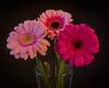 Gerberas (frankmh) Tags: plant flower gerbera hittarp sweden indoor