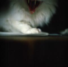 karpaten tieger (Walther Le Kon) Tags: analog film säbelzahn tieger tiger säbelzahntieger janni bockwurst dracula vampir vampirediaries norwegischewaldkatze norwegianwoodcat