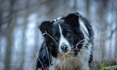 Knowing You Knowing Me (JJFET) Tags: border collie dog sheepdog herding
