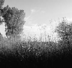 Nature- Afton State Park. 2017 -Hasselblad_2725 (erlin1) Tags: 2017 analog bw blackandwhite hasselblad mediumformat october v1 usa nature grasses