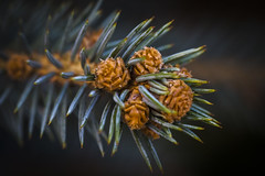 7P7A9955-Edit (Mark Ritter) Tags: pine needles christmas macro closeup