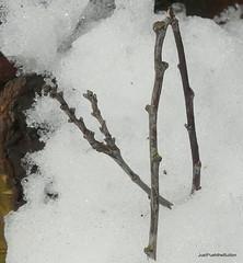 Pea sticks and ice tricks...HMM (robbie20161) Tags: stick hmm macromondays macro mondays winter snow