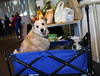 IMG_2199: Enjoying The Wagon (i_am_lee_sam) Tags: ziva red peace blue heeler acd australian cattle dog wagon cart 2017 care faire fair
