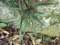 Simple spleenwort (Asplenium attenuatum var. attenuatum) (Poytr) Tags: aspleniaceae asplenium aspleniumattenuatum arffern fern sherwoodnaturereserve woolgoolgacreek woolgoolga nsw nswrfp qrfp arfp subtropicalarf subtropicalrainforest simplespleenwort spleenwort
